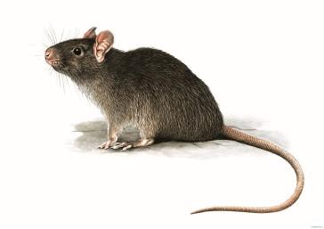 foto di ratto
